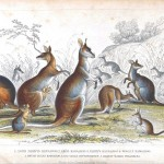 Animal - Kangaroo - Australia - Educational plate