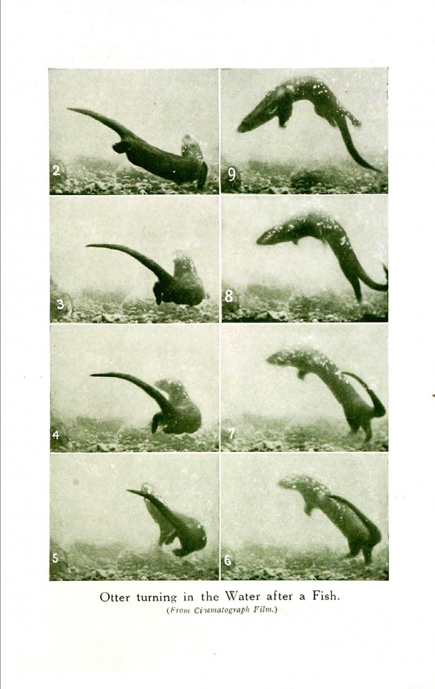 Animal - Locomotion - Otter 3