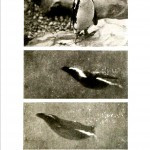 Animal - Locomotion - Penguin 2