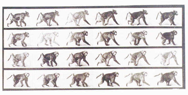 Animal - Locomotion - Photo - Baboon the walk' Nat'l Media Museum Flickr Commons