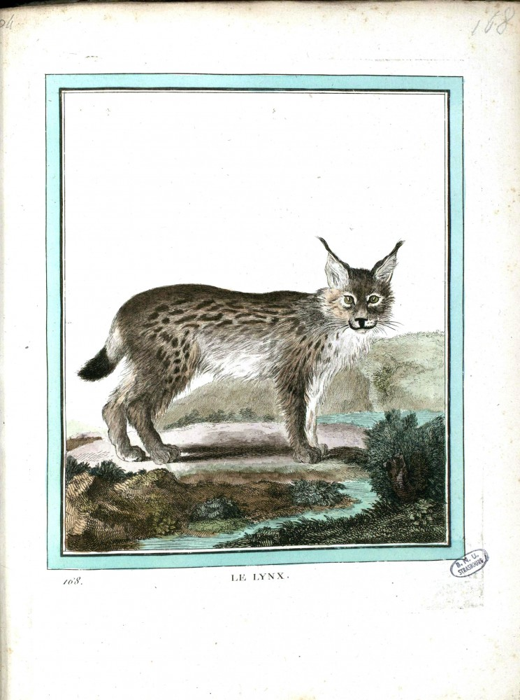 Animal - Lynx - Buffon's Quadrupeds (14)