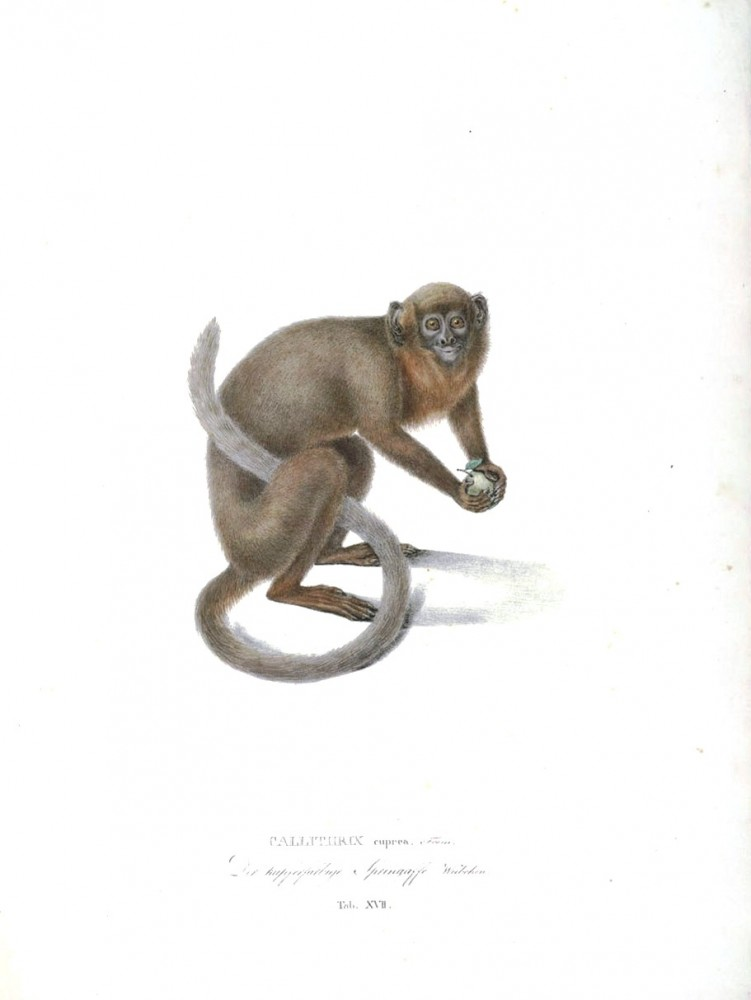 Animal - Non human primate - Monkeys of Brazil (17)