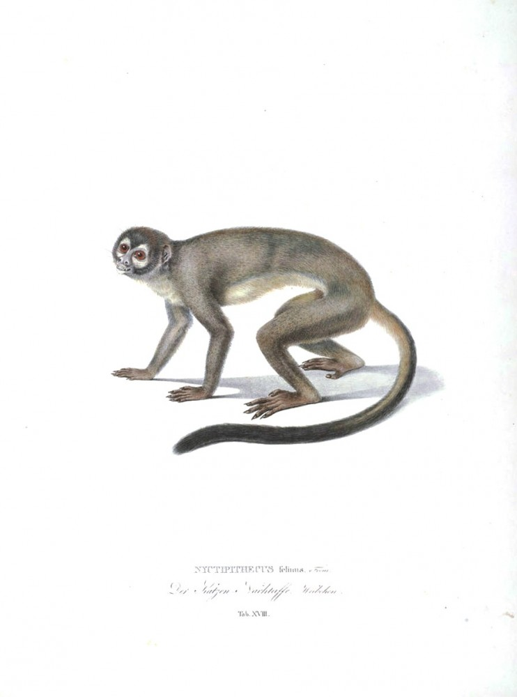 Animal - Non human primate - Monkeys of Brazil (18)