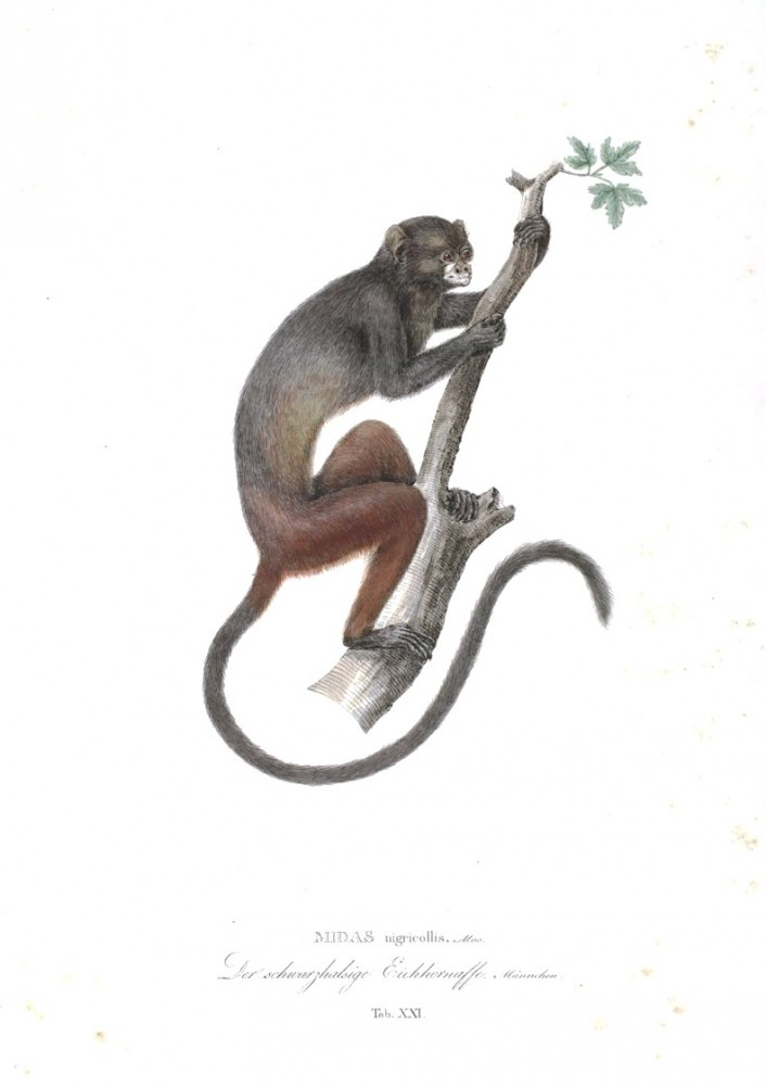 Animal - Non human primate - Monkeys of Brazil (21)
