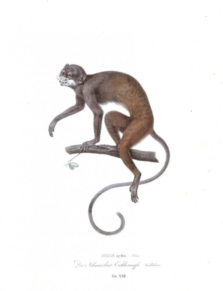 Animal - Non human primate - Monkeys of Brazil (22)
