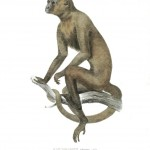 Animal - Non human primate - Monkeys of Brazil (29)
