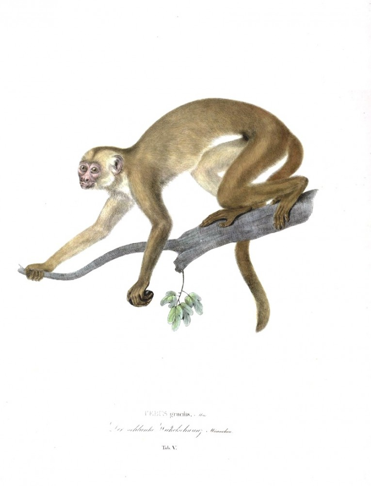 Monkeys of Brazil