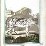 Animal - Ocelot - Buffon's Quadrupeds (11)