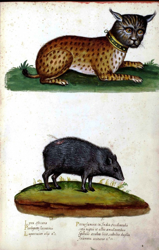 Animal - Ocelot and Boar - Italian