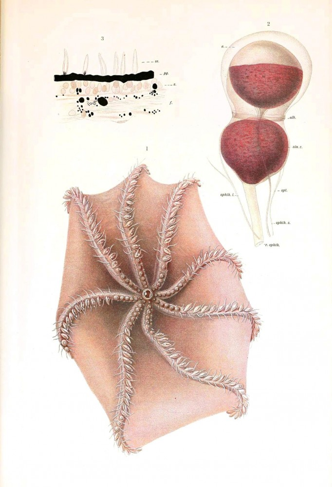 Animal - Octopus - Cephalopoda illustration 1909 - 2
