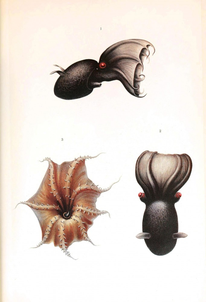 Animal - Octopus - Cephalopoda illustration 1909 - Vampire squid