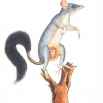 Animal - Oppossum - Australia - (2)