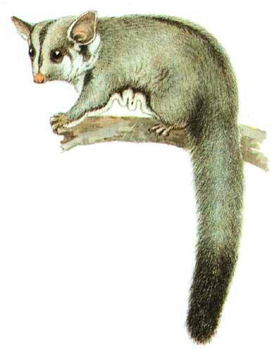 Animal - Oppossum - Australia - (3)