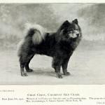 Animal - Photo - Dog - ChowChow