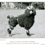 Animal - Photo - Dog - French Poodle