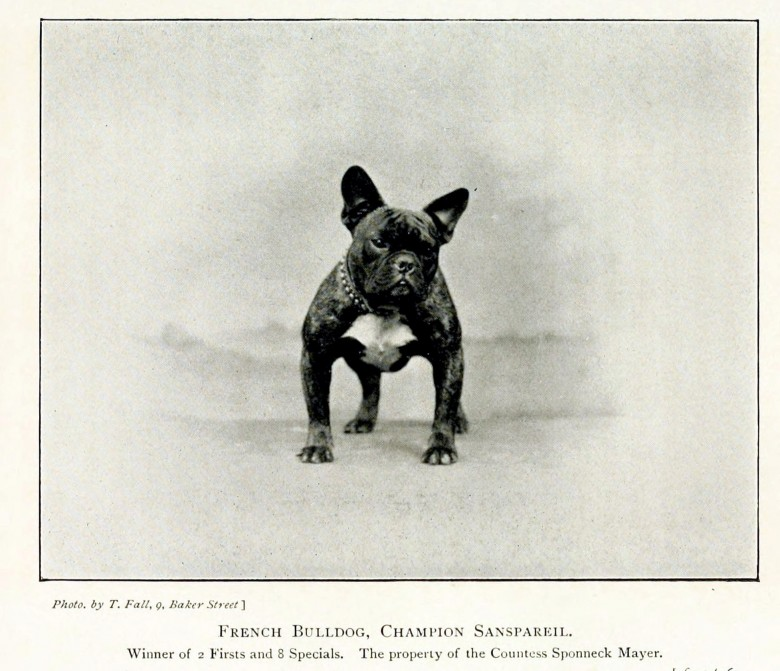 Animal - Photo - Dog - French bulldog