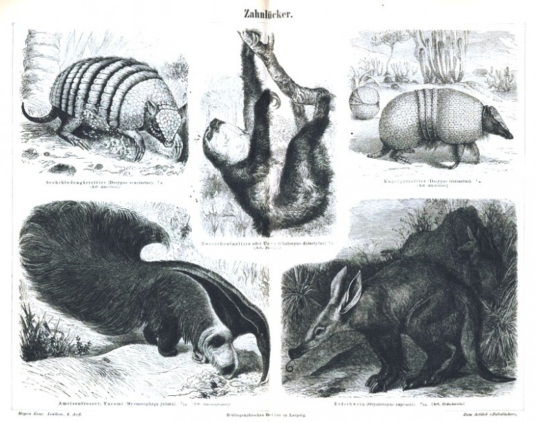 Animal - Prickly - Armadillo, anteater and sloths