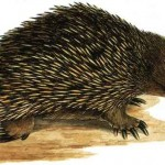 Animal - Prickly - Australia - Anteater - Spiny anteater