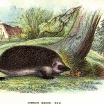Animal - Prickly - British mammal (1896) - Woodland - Hedgehog