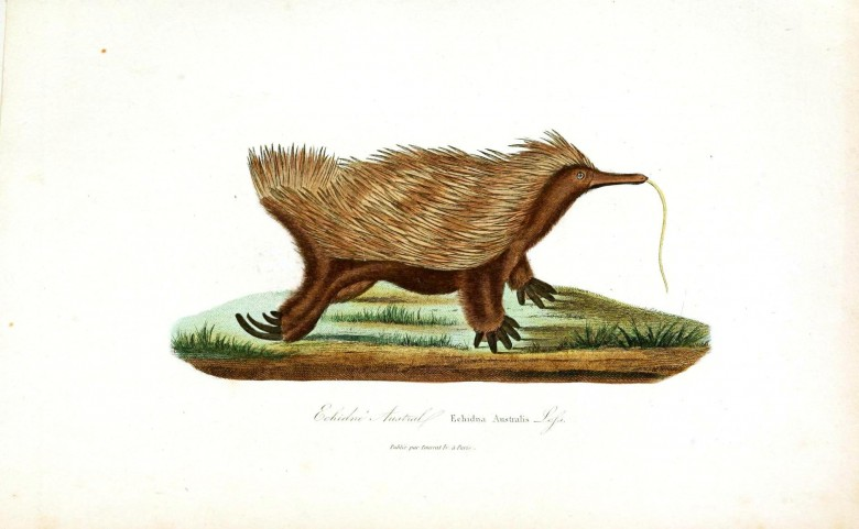 Animal - Prickly - Buffon - Australia - Anteater - Echnidna