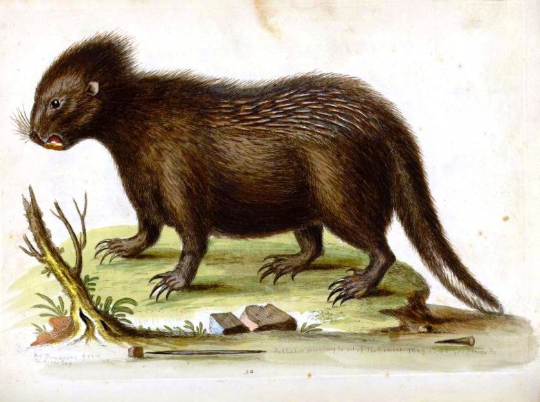 Animal - Prickly - Indian Zoology - Porcupine - Coudrou
