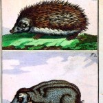 Animal - Prickly - Woodland - Hedgehog - German 1785 wood engraving