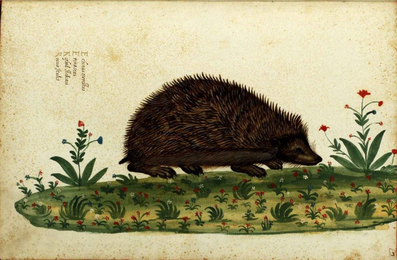 Animal - Prickly - Woodland - Hedgehog - Italian