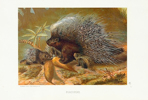 Animal - Prickly - Woodland - Porcupine 1 with baby