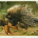 Animal - Prickly - Woodland - Porcupine 2 with baby