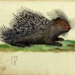 Animal - Prickly - Woodland - Porcupine - Italian -  (2)