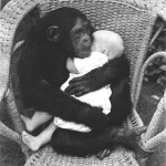 Research photo of chimpanzee holding human infant