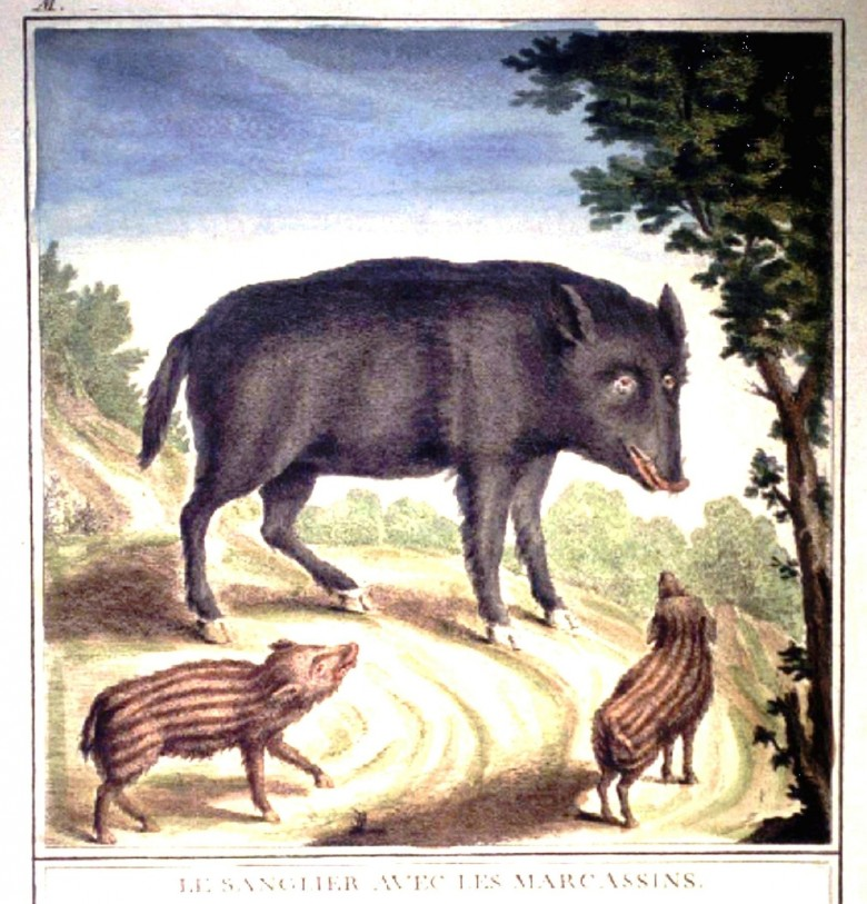 Animal - Range and Farm - Boar - French
