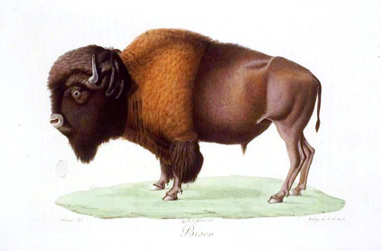 Animal - Range and Farm - Buffalo (2)