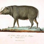 Animal - Range and Farm - Buffon - Boar