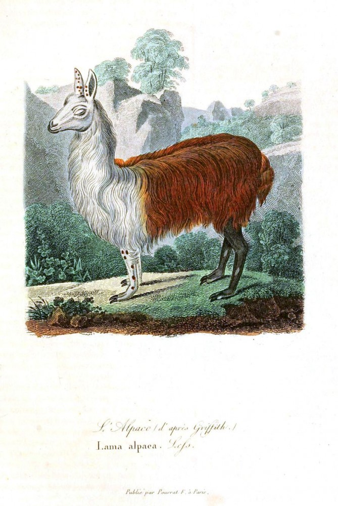 Animal - Range and Farm - Buffon - Llama