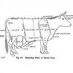 Animal - Range and Farm - Cow - Diagram for butchering  (2)