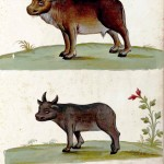 Animal - Range and Farm - Cows - Italian