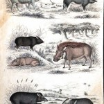 Animal - Range and Farm - Educational plate - Pigs