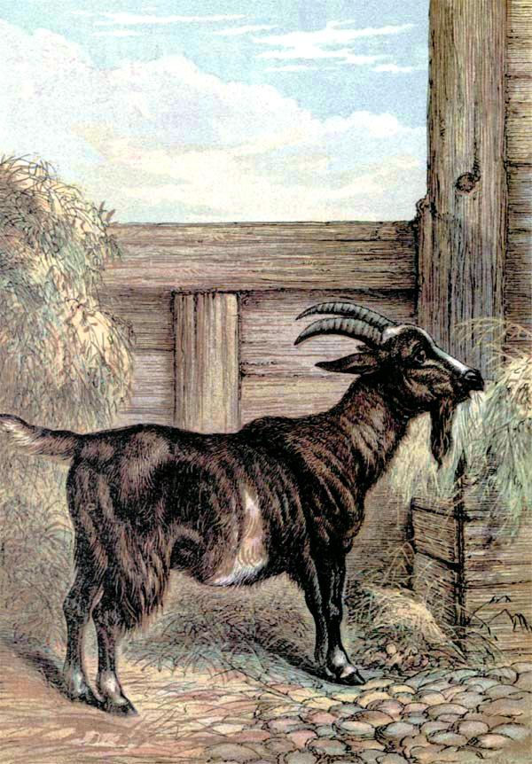 Animal - Range and Farm - Goat - Engraving