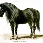 Animal - Range and Farm - Horse -  Suffok Black  Horse