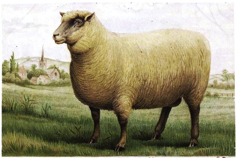 Animal - Range and Farm - Illustration - Sheep