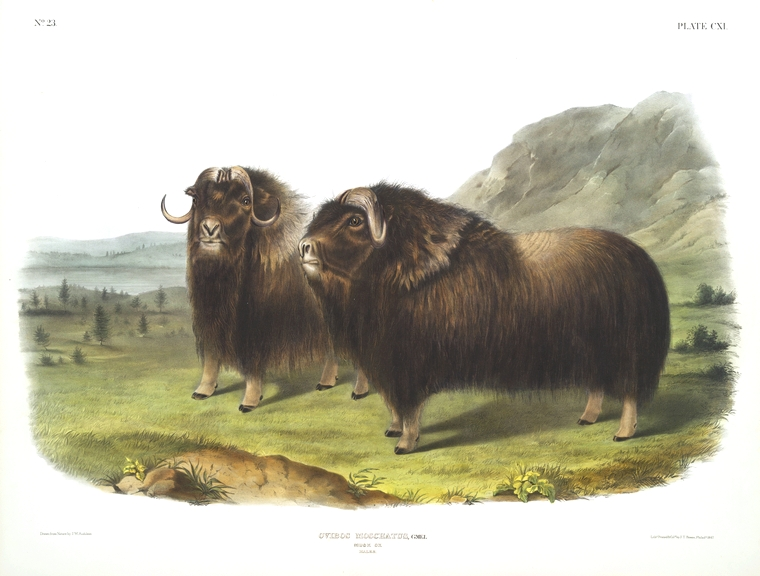 Animal - Range and Farm - Musk Ox