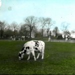 Animal - Range and Farm - Photo - Cow - Pauline (President Taft)