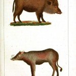 Animal - Range and Farm - Pig - Buffon
