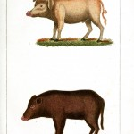 Animal - Range and Farm - Pig - Buffon 2