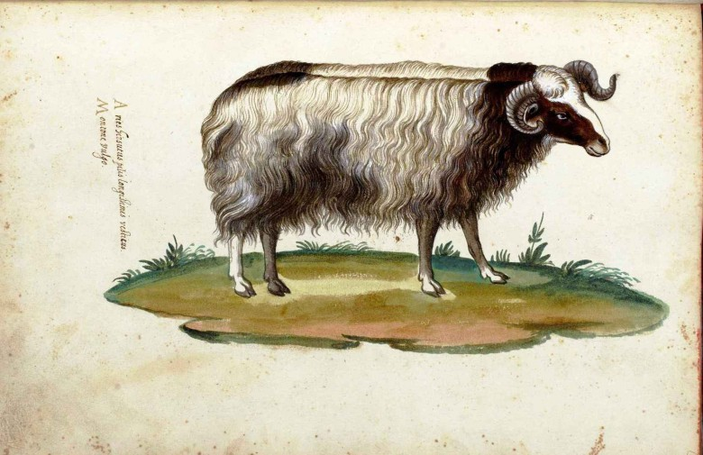 Animal - Range and Farm - Ram - Italian