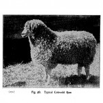 Animal - Range and Farm - Sheep - Black and White - Photo  (1)