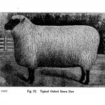 Animal - Range and Farm - Sheep - Black and White - Photo  (10)