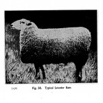 Animal - Range and Farm - Sheep - Black and White - Photo  (11)