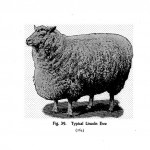 Animal - Range and Farm - Sheep - Black and White - Photo  (12)